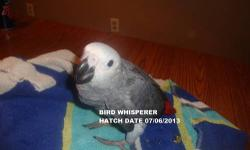 We have 2 Congo African Greys. Being hand fed 2 times a day, eating pellets and seed, fruits and veggies. They are $1500.00 each baby. Can DNA for an extra $15.00. Taking a $300.00 deposit. We also have brand new quality cages for sale that will be
