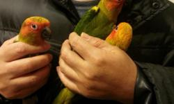 I have 2 beautiful sun conure babies left They are beautiful and adorable babies. They are fully weaned babies. $350 for each of weaned FIRMIf you are interested, plz let me know at 270-352-1004 or 201-280-6643(Cell) I live in Radcliff, KY
