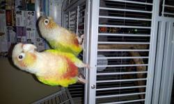 I have 2 beautiful greencheek pineapple conures both 2 years old love to explore their behavior mimics the behavior that of a female and male however I do not know forsure. If you are interested please text me at 3476182245