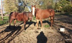We have 2 mares and a 1 year old colt for sale. I would like them to stay together they are very close! Reya is the big one and we were told she is approx 7 years old. Cherish is the darker one and she is approx 12. The colt just turned 1. All of them are