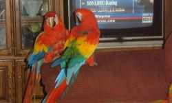 1 adult male greenwing macaw with large wrought iron cage, semi tame, talks. Can be hormonal at times, cage aggressive, prefers females, DNA confirmed male. $900. 1 blue and gold, DNA feather confirmed female. Never paired with above male. Large wrought