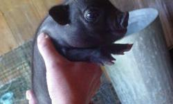 I have( 2) 7 week old mini pigs for sale . $375.00 cash , i also have a new litter of babies for sale they are $500.00 ea. now taking deposits on these. white with grey spots and black.