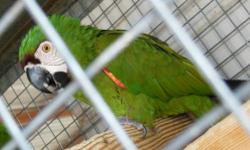 I Have Two Pair of Severe Macaws that I must Part with. They are PROVEN PRODUCERS! Must sell Please call 480-983-1494