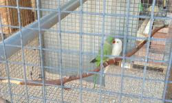 Ringneck breeders for sale with cage and nest box a complete package! Pair #1 albino female with green split to blue male Pair #2 lacewing green body with yellow head female with grey male Strong wire cage 8'x4'x4' divided into 2 cages Get them now before
