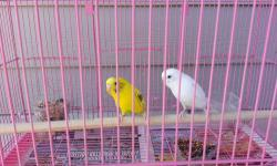 My mother has 2 parakeets white with hints of blue and the other is yellow and Green very cute cokes with the cage all together for $65 Text only (832) 633-2282