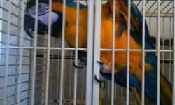 585 413-0545 -good with kids -Talk -very loving -rehoming fee 850 for both with cage food ets Reason for rehoming I have lost use of one hand they are very good loving birds