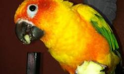 I have two sweet sun conures. one conure which i believe is a female is a cute cuddly lovey dovey bird and she is approx 4 yrs old. Great with older children.. my 8 yr old daughter snuggles up with her and she is super tame. The other conure which i