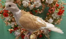 3 beautiful pair of Ringneck Doves available. $50 a pair. Buy 2 or more pair @ $40 a pair. Tangerine Pearled Tufted and Ash Tufted, Orange Pearled Tufted and Blond Crested, Tangerine Silky and Blond Frosty Crested.. (203) 632-5200 BEACON FALLS, CT