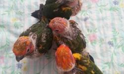 I have 4 beautiful sun conure babies for sale. I am hand feeding them now. They are beautiful and adorable babies. They are between 7 and 8 weeks old up to Feburary 25th. They are eating by themselves but still hand feeding them now. $300 for each of