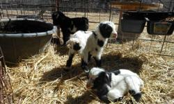 3 Bottle Baby Fainting Goats 2 females are standing $125 each 1 male lying down napping $100 both parents are mini silky fainters no papers with these babies