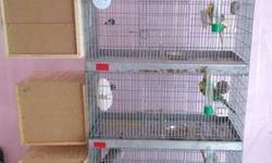 I have 3 breeding pairs of english parakeets they are all good parents they all average 5 babies per clutch they will come with the 3 stack cage combo and all 3 breeder boxes I just need to down size i have to many birds now