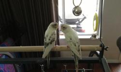 Three parakeets, two males and one female, located in Sacramento, CA. Please contact if you are interested. Thank You.