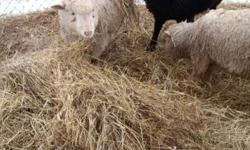 I HAVE 3 MIXED BREED SHEEP FOR SALE. A BLACK RAM (BAH-BAH) 9 MONTHS OLD. A WHITE RAM (BUD) 7 MONTHS OLD. AND A WHITE/RED EWE (LILA), 7 MONTHS OLD. THEY WERE ORPHANS AND WE SAVED AND BOTTLE FED THEM. THEY NEED HOMES. $150.00 A PIECE. CALL JUDY OR SOMMER AT