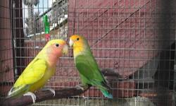3 Proven Pair of Ruppells Parrots. These guys are wonderful little clowns and are very rare! Once again, these parrots are not common and are a great breeding operation opportunity. If your interested please email or call. $2000 per pair Haven Aviaries