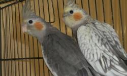 TAME HAND-FED BABY COCKATIELS, $35.00 EACH. Get two and they will keep each other company. ONLY TWO LEFT. Call today for an appointment to see and reserve your baby cockatiel. 352-390-0590