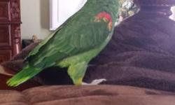 This is Zac a 3 yr old male double yellow head amazon. He's awesome and sweet. Great talker. With his cage $1200.00 859-358-4400