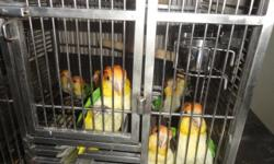 They were hand fed and still very tame. Sweet birds