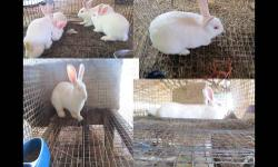 42 Live meat bunnies/rabbits for sale (range from mix New-Zealand to full New-Zealand)1 polish bunny-small breed(pet type. At the moment have 43 rabbits/bunnies for sale now and by the end of September will have some more. Range from 8weeks plus. One