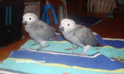 We have few Babies Congo African Greys For Sale. We are taking a $500.00 deposit on these babies with Payment plans. They may possibly be weaned in about 6-8 weeks,but I will not guarantee this as babies wean when they are ready. Please feel free to