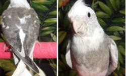 Ready to go to new homes today! These babies are 3 to 4 months old. There are 2 White Face Pied Males, a Pastel Face Pied Male and a normal Face High yellow Pearl, I think to be female. Very sweet birds, have been hand raised. Cockatiels are wonderful