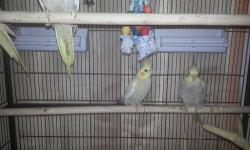 We have 4 beautiful young Pearl cockatiels ready for their new homes. We've been working on taming them but they still need more work - still a bit afraid. 2 females are 9 months 2 females are 5months Both parents are very tamed and can be held easily. We