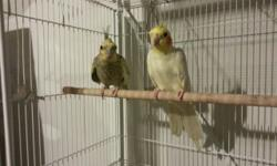 Moving so I must rehome my two pairs of tiels. One pair is aound 4 years old and the other is close to 7. Both have bred numerous clutches of healthy babies though I haven't bred them in about 6 months in preparation for the move. Only one of the tiels is