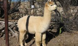 My misfortune is your opportunity. Medical bills have left me in a financial bind. Whether you're just beginning with alpacas or you're looking for a fiber herd for your fiber art projects or you're an experienced breeder, this package and its great price