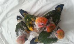 I have 4 sun conure babies for sale I am hand feeding them now. $250 for each unweaned. $350 for each weaned. If you are interested, plz let me know at 270-352-1004, 201-280-6643(cell) I live in Radcliff, KY 40160