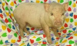 Cutie is a Nano Micro Mini Piglet. Nano means that she will be in the 20 lbs range when done growing. I think that she will be in the upper 20's when grown. I know this from tracking my micro mini pigs, selective breeding, and having new parents monitor