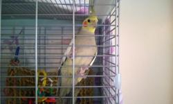 My 5 month old male Cinnamon Cockatiel (dob 5/19/14), Chester, needs a new home. He is very vocal and semi tame. He will eat from your hand, and does not peck or show any aggressive behavior when inside his cage. I bought him at 9 weeks (with wings