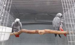 Just got in 5 pair of proven congo greys and 1 pair of timneh greys. All proven bred. Gauranteed to hatch and feed their babies. Call or text for more pics or info. thanks