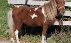 Schulz's Majestic Power is a double registered sorrel Pinto stallion out of 2 Hall of Fame Parents! Plus HOF grandsires and dams. He is super sweet lots of color. If you are looking for a breeding stallion, a pet or a show prospect he is the one. You