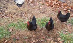 6 Black Star laying pullets ( cross between Rhode Island Red rooster & Barred rock hens) and 1 Barred Rock rooster $150 for the flock. These black hens are very pretty , have a greenish sheen on the black, and a redish patch on the chest,. Just 7 months
