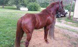 6 years old 14.2 hands, build like a tank very muscular Grade Quarter Horse gelding he's traffic safe, very smart willing to learn, self loads in a trailer, picks his feet, sound he is a super easy keeper. responses to leg pressure, Very nice prospect