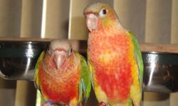 I have a pair pineapple conure 2 year old are looking for new home . They are Sami tame I am asking 250 with cage