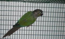A prove-by-me Turquoise Green Cheek Conure male. 3 and a half years old. Excellent dad - with his former mate, he had 2-3 clutches a year, 5 beautiful babies each clutch. On a very healthy diet, Roudybush pellet, quality seed mix and a lot of fruits and