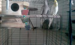 I have a pair of breeding cockatiels; they are about 2 years old. I've bred the twice. The lutino is a male and standard gray is a female. Also, I have a perfect cage for them and breeding box ( in case you want to breed them). Im asking a small rehoming