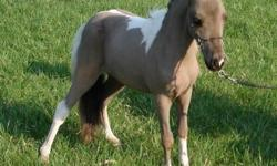 """Janzen's Sweet Talkin Hanna is a 28"""" double registered 5 year old Miniature Mare. Hanna was shown when she was younger. Extremely super sweet, wonderful quiet disposition. Terrific with little children. She could be bred for a 2015 foal from our 29"""""""