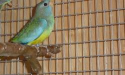 I have a male coloring out and female scarlet chest parakeet ready to breed next spring. Asking $260 for the pair.