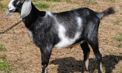 ADGA Purebred Nubian Goat Buck. 6 mths. old. Excellent milking bloodlines. Show quality. Very friendly. $200. Call 304 576-2514 for details.
