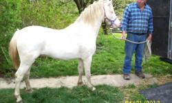 Witch Trot's Deville is a Shetland/ Welsh cross gelding who is very spirited and fancy. He has been shown in harness and won several ribbons. He lead lines small children and is very calm with them. Standing about 11 HH, this guy is ready for a new home
