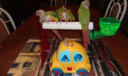 Adorable Pineapple Conures available! Still hand feeding. $325 each baby with $100 deposit. Can DNA for $25.00 extra. Location Northeast PA 18058. Contact Ana's Parrots or Myself with any questions. For more info please see my page: