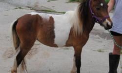 """Schul'z Victorian Rose (Vicki) is a ASPC Reg. 4 yr. old Bay Pinto Mare. She is registered Shetland but very small only 33"""" tall and full grown. Her sire is double Mini/Shetland registered but Dam was only Shetland. She could be hardshipped into the"""