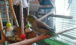 George is a 2 and a half year old Parrotlet. The smallest species of parrot he is a lot of bird in small, hobbit size. He is hand tame, knows a few words, and needs someone who is loving, patient, and willing to put in the daily quality time he deserves