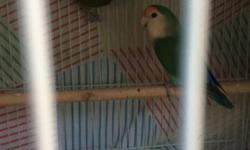 Adult Male Pied Turquoise Lovebird $60. About 1yr