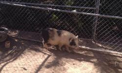 Have two adult neutered micromini pig's for sale both are two years old one is black the other is black-and-white asking $200 each have to downsize the farm..to loving home where they will get lots of love and attention. have been used in petting zoos and