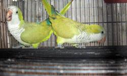 """Proven pair of""""split to blue""""Quakers.This pair are birds of 2 years,they produce blue chicks in proportion of 1 blue baby per clutch.They are 100% PROVEN PAIR,and this year I get ,among 16 chicks from them,one blue,.They produce another beautiful quaker"""