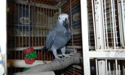 African Gray Parrot will be 2 in May. Good talker picks up new words fast. Selling because we of traveling. Comes with large cage 1,000 firm.