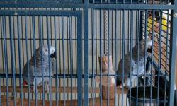 african gray congo's DNA SEXED 5 year old female 4 year old male were hand raised babies excellent talkers with a very large vocabulary (watch what you say if the repeat it they use your voice LOL but true} $1,800.00 for the pair with a large cage I can