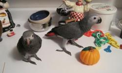 african gray parrot about 8 years old talks friendly when she warms up to you .Comes with cage and her toys . text or call for pictures